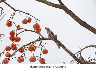tree with fruits of persimmon in the center of the eastern city of Seoul and bird eating fruit