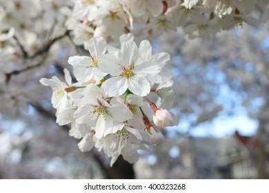 Tree full of beautiful white cherry blossoms