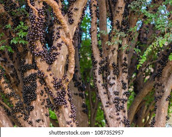tree full of jabuticabas(brazilian berry)