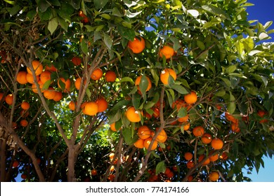 Tree full of oranges in a park in Marrakesh