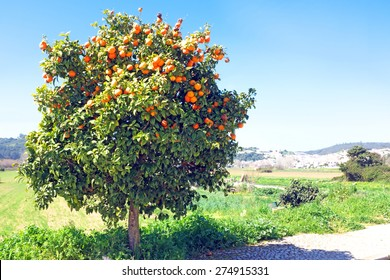 Tree full of oranges in spring time
