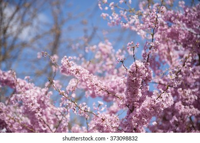 A tree full of pink blossom against a clear blue sky in springtime