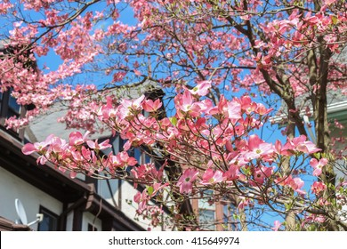 A tree full of pink flowers in front of a house