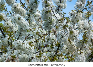 A tree full of white blossom in front of the blue sky