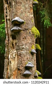 Tree fungus, hoof fungus on a dead spruce in a forest in Germany.