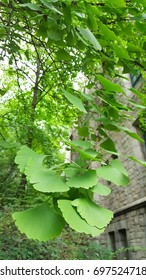 Ginkgoleaves and tree  in the garden .  The  fan-shapedleaves  is a common treatment in Chinese medicine