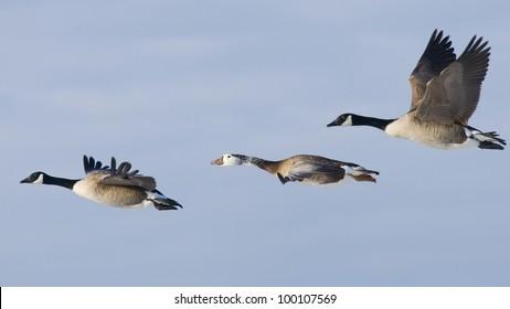 Tree Geese in Flight