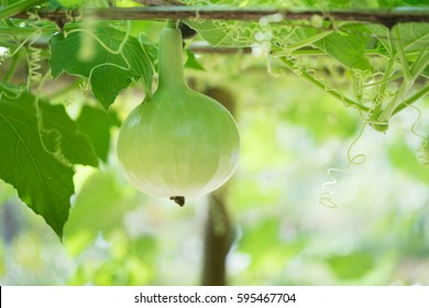 Tree of gourd and bottle gourd.