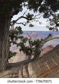 Tree at Grand Canyon