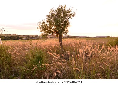 Tree in grass during late summer.