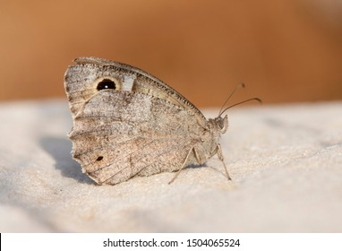 Tree grayling, butterfly (Hipparchia statilinus). resting on a rock, Andalusia, Spain.