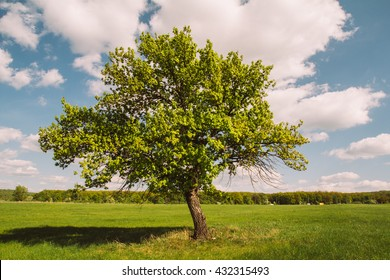 Tree in a green field. Clear day. Summer.