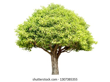 Tree - green leaves and bonsai. Isolated on white background. (clipping path)