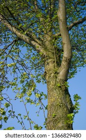Tree with green leaves in spring. Blue sky is visible through the tree branches
