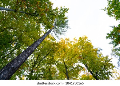 Tree with green yellow leaves against the sky background. View from below upwards. In autumn.