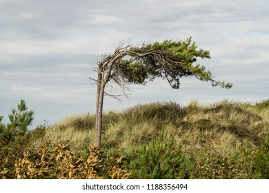 Tree growing bended in wind direction at Formby in England