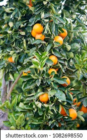 Tree growing fresh oranges