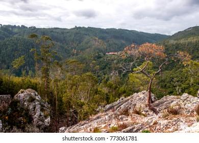 Tree is growing on the rock,Region Figueiró dos Vinhos - Portugal.