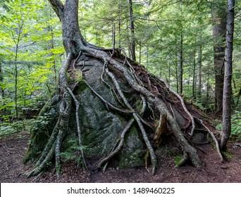 Tree growing on top of Rock in Adirondacks