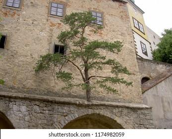 Tree growing from stone wall of Buchlov castle in the Czech Republic