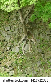 A tree grown from the crevices of Japanese stone wall (Ishigaki)