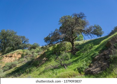 Tree grows on the edge of a grassy valley in California.