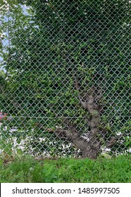 A tree grows through a chain-link fence.