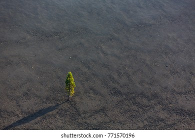 Tree grows in volcanic ash