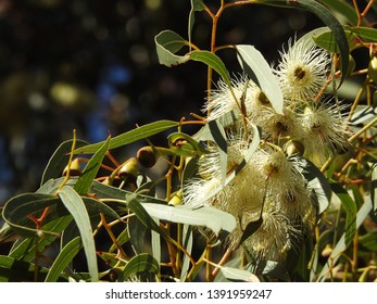 Tree, gum, eucalypt, eucalyptus with aromatic, elongated leaves, gumnuts, flowering, closeup delicate white flowers soft blue bokeh background Oaklands Wetland Reserve City of Marion South Australia,