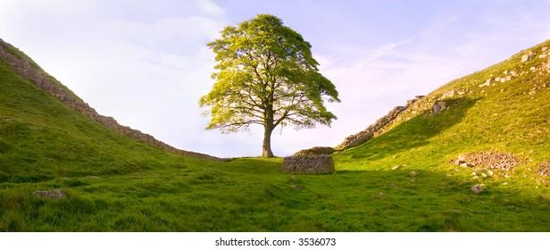 Tree at Hadrian's Wall