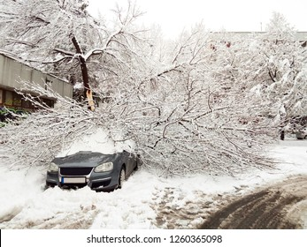 The tree has fallen under heavy snow in suburban community, blocking the road and damaging the nearby car