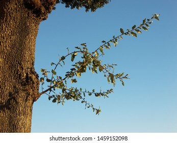 The tree of holm oak featuring bark sky branch. The botanical family of holm oak is fagaceae trees.