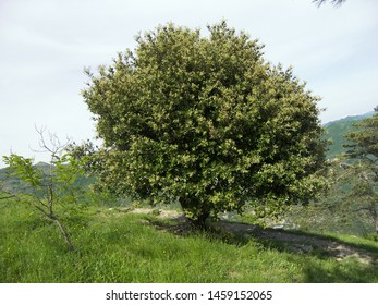 The tree of holm oak featuring quercus ilex. The botanical family of holm oak is fagaceae trees.