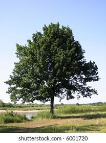 tree in, full leaf standing alone in a field in summer