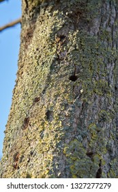 A tree infested by the Asian longhorn beetle in Magdeburg. The beetle from Asia was first registered in Europe in 2001.