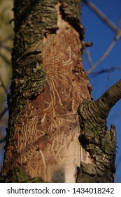 Tree with insects feeding traces. Paths in wood