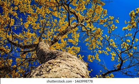 tree ipe yellow in amazonian brazil