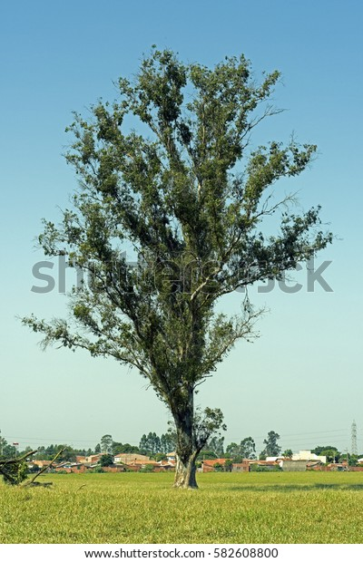 Tree isolated on green field