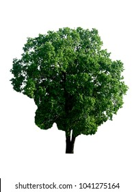 tree isolated on white background for Landscape design with clipping path