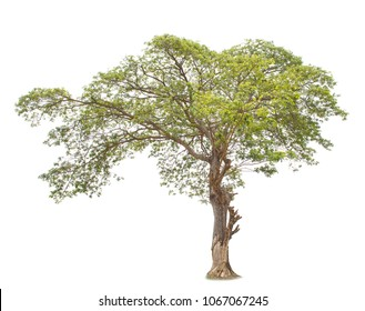 Tree isolated on white background (Albizia saman, East Indian Walnut, Monkey Pod, Samanea Saman)