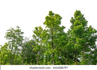 Tree isolated on white background, forest, isolated on white background