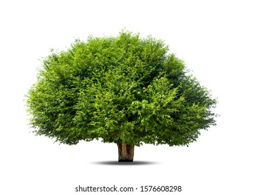 Tree isolated on white background, tropical trees isolated used for design, advertising and architecture.