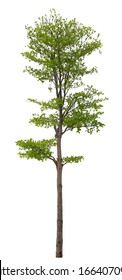 Tree isolated on white background. Suitable for use in architectural design or Decoration work. Used with natural articles both on print and website.