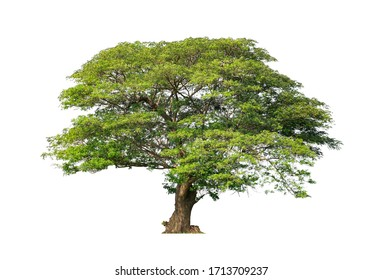 Tree isolated on white background for use in architectural design or more.