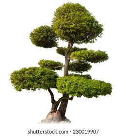 Tree isolated on white background. Asian bonsai plant for oriental garden