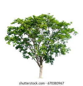 tree of Isolated on white background
