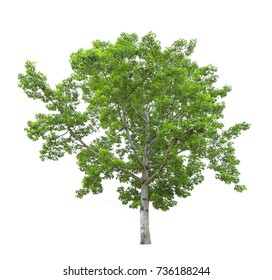 Tree isolated on white background with clipping path. The tree is took from around national park area and then die cutting.Can be use to garden design or interior design or any content involve tree.