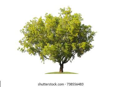 Tree isolated on white background.