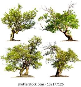 Tree isolated on white. Chinese garden bonsai