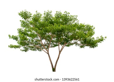 tree isolated on white. Rain